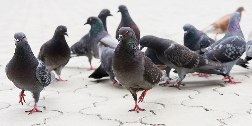 BIOTEC Taubenabwehr – Pigeon on the ground – © yalyashenko - Fotolia.com