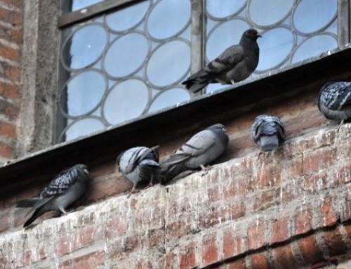 München kapituliert vor den Tauben
